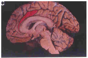 Frontal_Lobes_4
